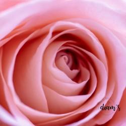 Rose rose broderie diamant
