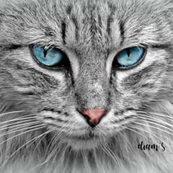 Chat gris aux yeux bleus -...