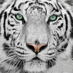Tigre blanc - Broderie...