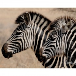 Deux zèbres - Broderie...