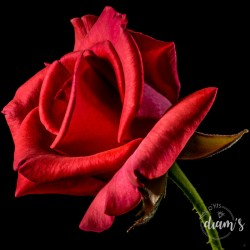Rose rouge de l'Amour -...