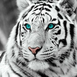 Tigre blanc aux yeux verts-...