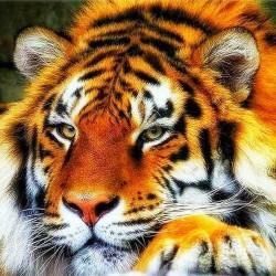 Le repos du tigre - Toile...