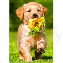 Golden et sa rose jaune -...